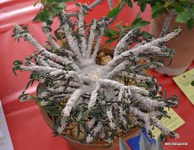 Photo: Euphorbia cylindrifolia v tubifera 1st place