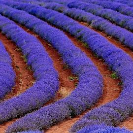 Fields of purple by Brett Styles - Landscapes Prairies, Meadows & Fields ( nature, purple, fields, lavender, field flower,  )