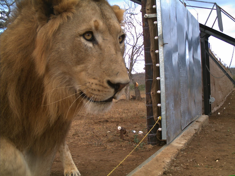 The new king of Somkhanda crosses the boma line into his new territory.