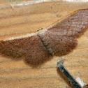 Idaea moth