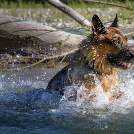 jump! by Chiara Marinelli - Animals - Dogs Playing ( german shepherd dog, german shepherd, dogs playing, dogs running, dog, water )