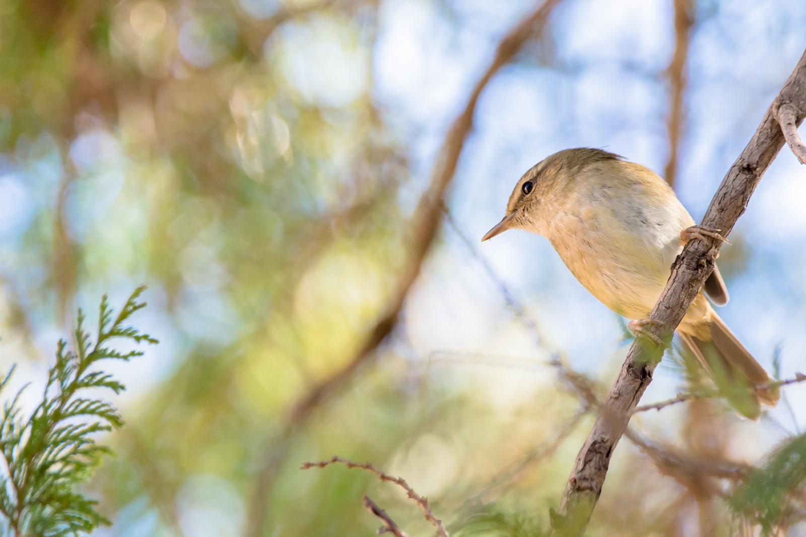 Photo: 「出番を待つ」 / Wait for the spring.  近づいている 出番の時 ドキドキわくわく 最初はへたっぴかもだけど 精いっぱいに春を歌おう  Japanese Bush Warbler. (ウグイス)  Nikon D7200 SIGMA 150-600mm F5-6.3 DG OS HSM Contemporary  #birdphotography #birds #kawaii #小鳥 #nikon #sigma #小鳥グラファー  ( http://takafumiooshio.com/archives/998 )