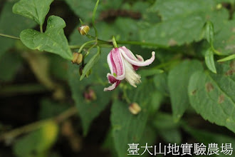 Photo: 拍攝地點: 翠峰-停車場 拍攝植物: 小木通 拍攝日期:2012_10_30_FY