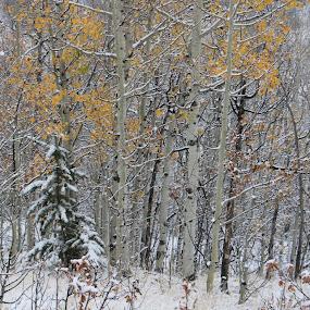 Winter wonderland by Bill Dickson - Landscapes Forests ( wonderland, snow, winter, trees,  )