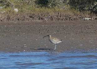Photo: Whimbrel