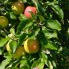 Apples - From Start to Finish by Rita Goebert - Food & Drink Fruits & Vegetables ( apple blossom, apples; schutt's cider mill; webster; new york; orchards, apple tree,  )