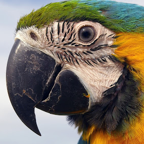 Macaw by Gavin Falck - Animals Birds ( bird, nature, parrot, gavin falck, animal, macaw )