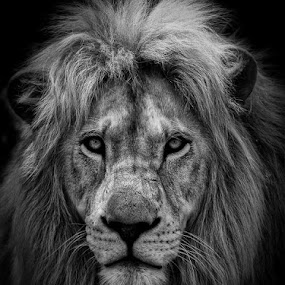 by Anton La Grange - Animals Lions, Tigers & Big Cats