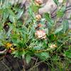 Willow rose