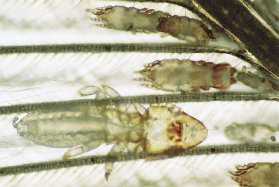 Feather/quill mites