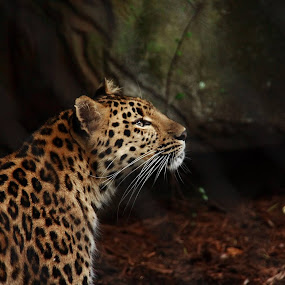 Leopard by Angela Wescovich - Animals Lions, Tigers & Big Cats (  )