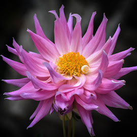 by Koh Chip Whye - Flowers Single Flower (  )