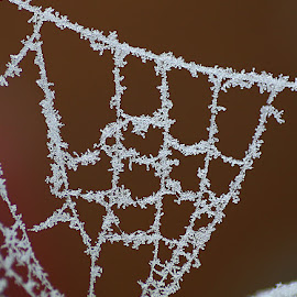 Frosted Web by Chrissie Barrow - Nature Up Close Webs ( macro, nature, closeup, web, frost )
