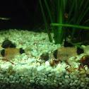 Panda Cory Catfish
