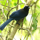 Azure-hooded Jay