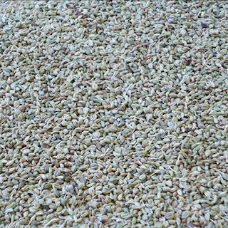 Carom Seeds Or Ajwain – Benefits Of Ajwain Water, Ajwain Powder