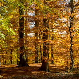 Golden Forest by Siniša Ciglenečki - Landscapes Forests ( forest, nature, woods, tree, brussels, colors, la hulpe, leaves, outdoors, daylight, golden, autumn, travel, sunny, colorful )