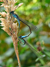 Photo: Blue-tailed Damselflies (Ischnura elegans) I've been studying Odonata around my pond and elsewhere these last few weeks, trying to learn more about them and the different species. At long last these two decided to mate right in front of me. They were at it for quite a while so I had plenty of opportunity to get lots of shots from different angles! :-) The grass seed head is full of bugs too - aphids I think.  For #buggyfriday +Buggy Friday Curators +Ray Bilcliff +Dorothy Pugh +Victoria Etna #hqspnaturalother +HQSP Natural Othercurated by +Valesa Diamontes, +Delcour Eric, +Ali Sadreddini and +Vincent Dale #macro4all by +Bill Urwin, +Thomas Kirchen, +Mark O'Callaghan  +Walter Soestbergen (+Macro4All ) #odonata #buggylove