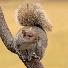 by Kathy Jean - Animals Other Mammals ( squirrel, mammal, grey squirrel, animal, fluffy tail,  )