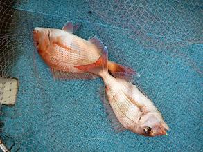 Photo: ウキを回収したら真鯛が2匹掛かっていた、タナカさん!