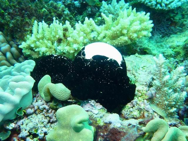 Photo: Ovule en Nouvelle-Calédonie