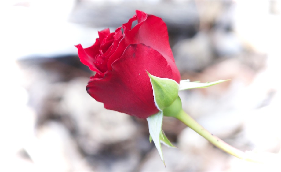 Bright Red Rose.jpg