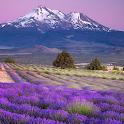live wallpaper lavender icon