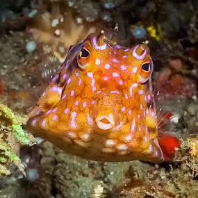 Kiss kiss by Richard ten Brinke - Animals Fish ( lembeh strait, macro, indonesia, scuba, diving, , sea creatures, underwater life, ocean life )