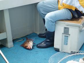 Photo: クマガイさんも真鯛キャッチ!