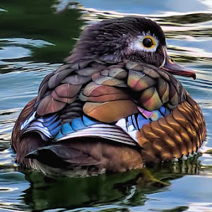 wood duck pixoto.jpg