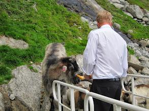 Photo: Hungry goats