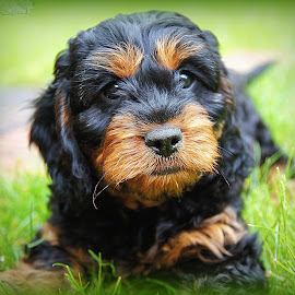 cavapoo puppy by Caroline Beaumont - Animals - Dogs Puppies ( cavapoo puppy )