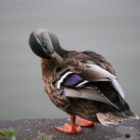 Duck by Kelly Bowers - Animals Birds ( #duck #pond #purple #beautiful #love )