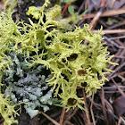 Brown-eyed wolf lichen