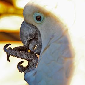 white parrot by Yoy Escosura - Animals Birds