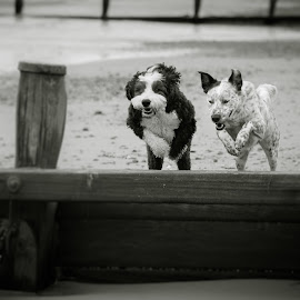 Leaping by Vix Paine - Animals - Dogs Running ( collie cross, breakwater, jumping, brother from another mother, old english sheepdog, sand, break water, collie, beach, dogs, sheepadoodle, black and white, dog, brother, leaping )