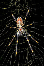 Photo: Golden Orb Weaver