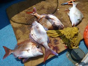 Photo: な、なぬー!真鯛4匹!・・・ん?1匹ちがうのが。 フエフキ混じりのフォースキャッチ!