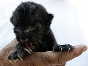 Photo: A worker holds two weeks old black panther, Milica in Belgrade's Zoo, Saturday, July 14, 2007. The  cub is adopted by a dog, who helps rear it along with her own puppies, after baby panther's mother tried to eat it.  (AP Photo/Darko Vojinovic)
