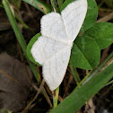 unidentified white moth