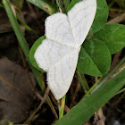 unidentified white moth