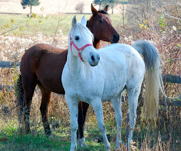 "Photo: Isis, the white horse, was given to me in early Nov. to save her from going to the slaughterhouse. I am so blessed to have this beautiful Arabian horse in my ""collection""."