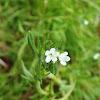 Margined Stickseed