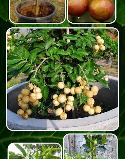 玩免費遊戲APP|下載Fruit Trees In Pots app不用錢|硬是要APP