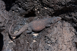Photo: Chuckwalla, basking in the sun to digest his meal of flowers
