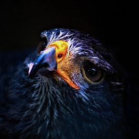 Out of the shadows by Matthew Goldsworthy - Animals Birds ( bird, headshot, raptor, portrait, hawk )