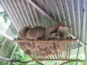 Photo: Sloths being slothful