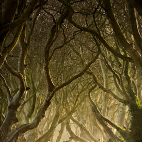 Entwined by Gary McParland - Landscapes Forests ( the dark hedges ·ireland ·co antrim ·armoy ·trees ·sunrise ·light ·mist )
