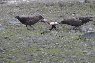 Photo: The black skua birds are making a meal off a pinguin chick which they have just stolen from it's nest -- poor baby!