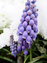 Photo: Purple flowers under snow and ice at Cox Arboretum in Dayton, Ohio.
